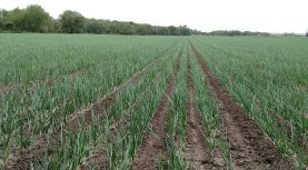 Market and Crop Update for May 11