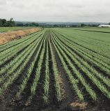 Market and Crop Update for June 15