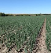 Walla Walla to start in mid- to late June, Keystone's Borer says