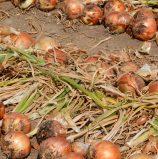 Northwest Onion Field Days
