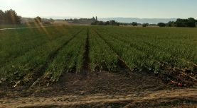 Market and Crop Update for August 10
