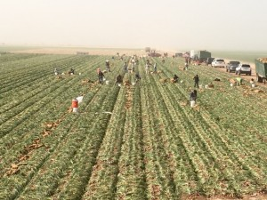 Photo provided by Robert Bell of Western Onion, headquartered in Camarillo, CA.