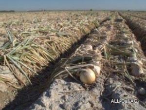 Snowing of onions for heat protection. Bakersfield, CA. Courtesy of Rich Hoffman, Santa Maria Seeds