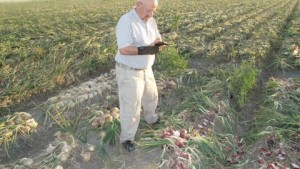 Santa Maria Seeds Richard Hoffman inspects onion crop. Courtesy of Richard Hoffman