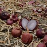 OSU - Onion Variety Day