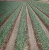 N. Colorado to hold 2017 Onion Variety Field Day Aug. 31