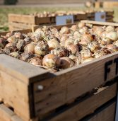 Bayer moves Annual Onion Showcase to October 27